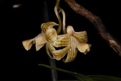 Dendrobium nemorale 2017-06-12 01