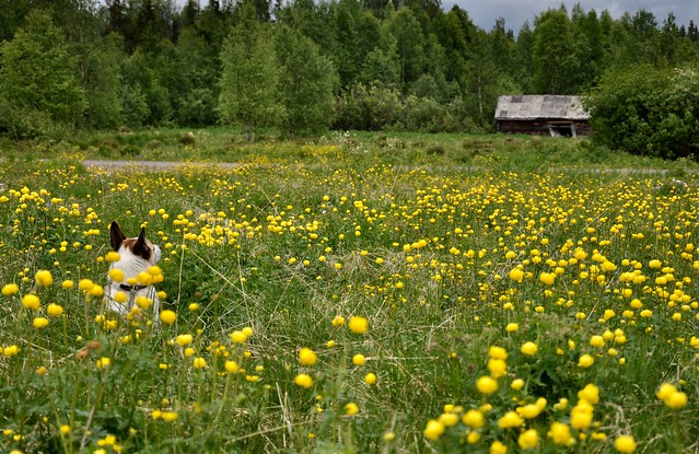 Old barn and dog among the trollius flowers