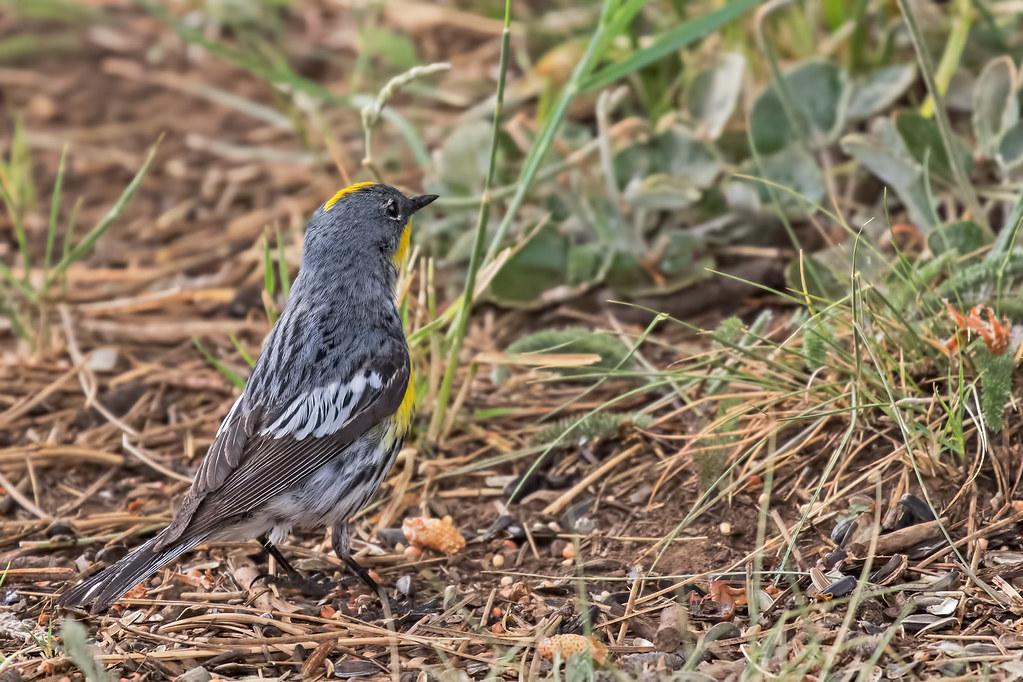 Yellow-rumped-Warbler-32-7D2-062517