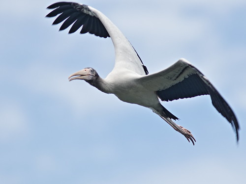 Wood Stork immature in flight 03-20170612