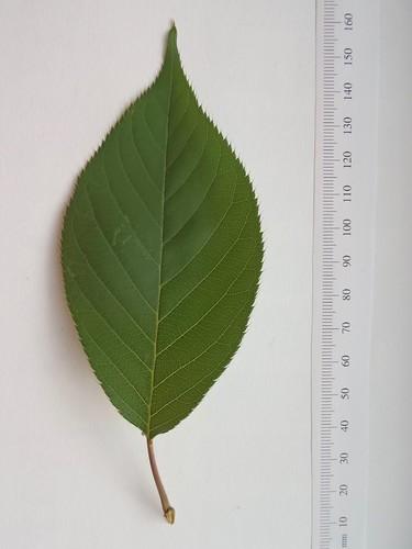 """Prunus serrulata """"Kwanzan"""""""