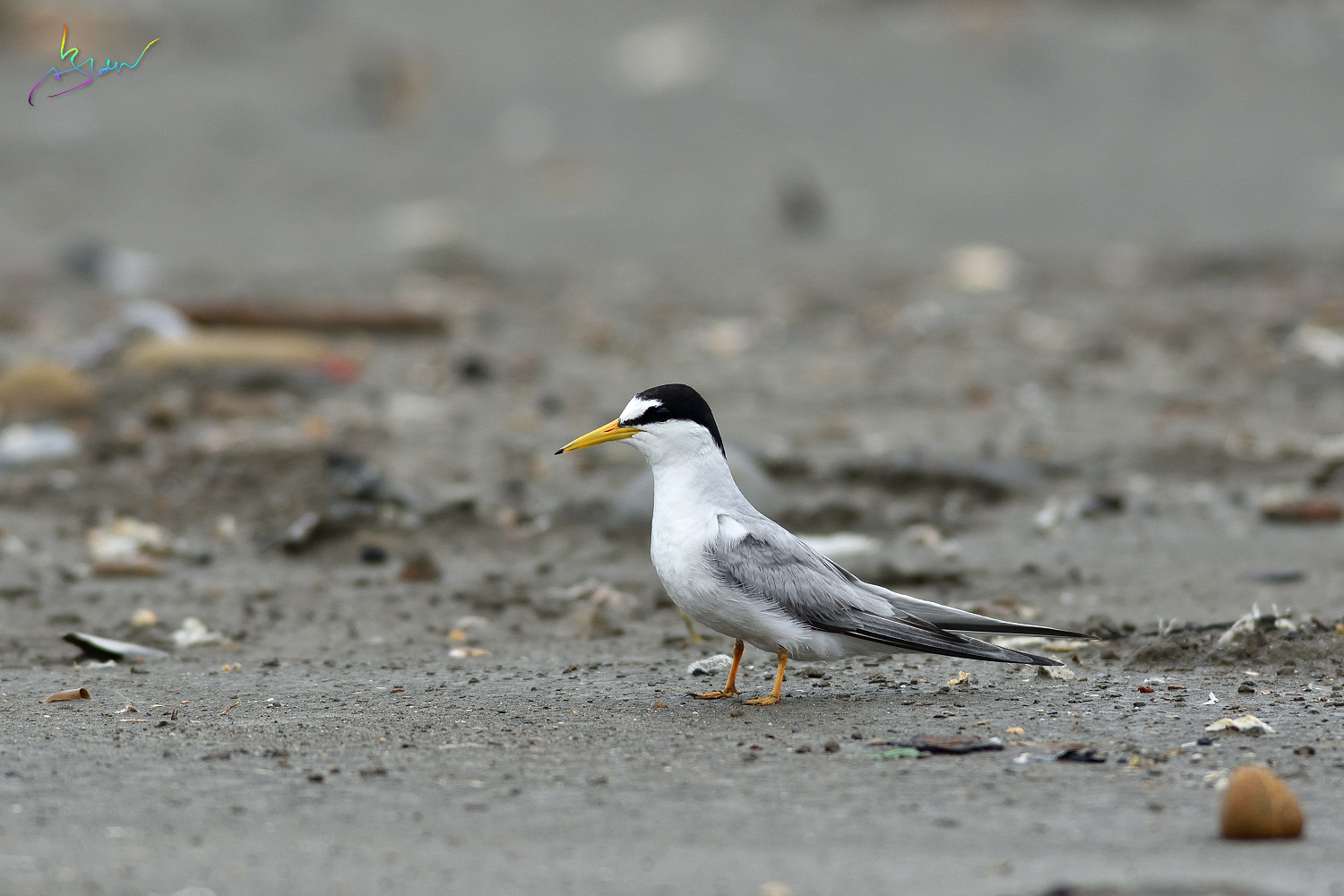 Little_Tern_3180