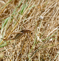 Common Predatory Bush-cricket (Saga pedo)
