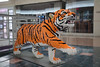 Mall Tiger