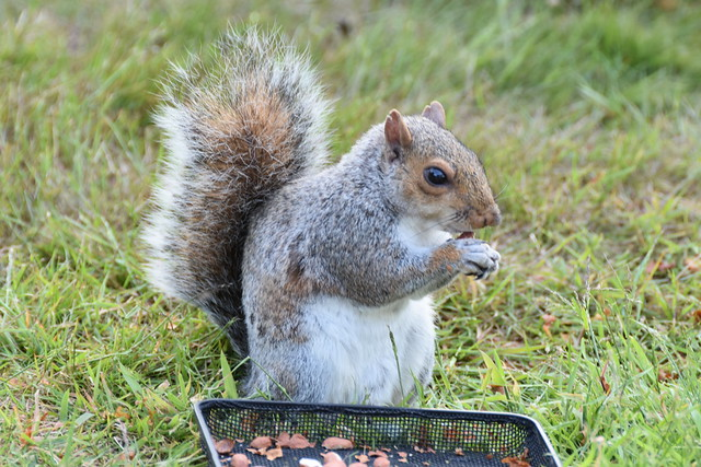 Female Squirrel Mum and she has been coming to us feeding now for last 4 years