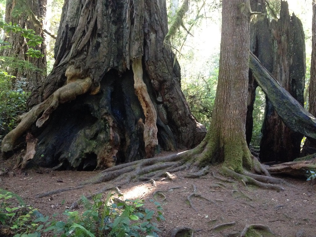 Redwood National Park. Coastal redwoods. Traces of fire estimated to be 80 to 100 years ago