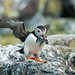 Farne Puffins 01 by pdjsphotos