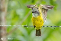 Myiozetetes granadensis / Mosquero cabecitas / Gray-capped flycatcher