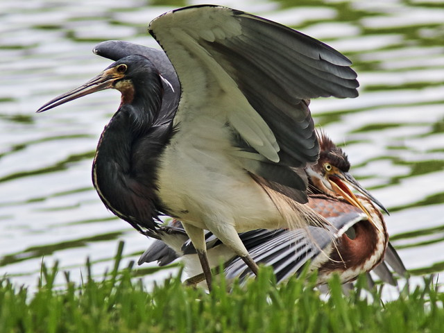 Tricolored Heron demands feeding 01-20170612