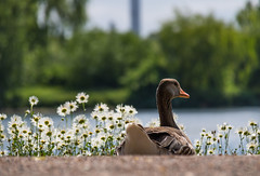 Greylag goose and the flowers