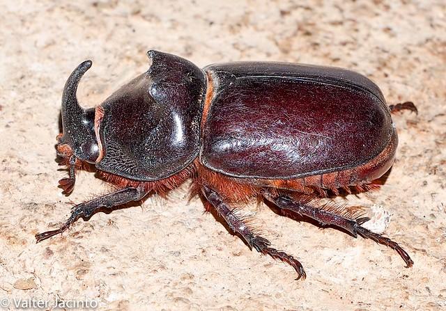 Escaravelho // Rhinoceros Beetle (Oryctes nasicornis), male