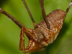Harvestman (Opilio parietinus ?)