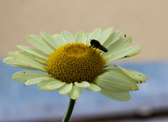 Fly on yellow daisy