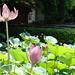 荷 Lotus