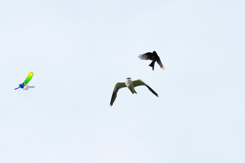 Black-winged_Kite_1715