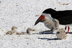 5 Black Skimmer Chicks Taking Turns Eating