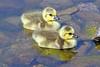 Canada Geese Goslings 17-0430-4047 by digitalmarbles
