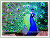 Peacock (Peafowl, Peahen)