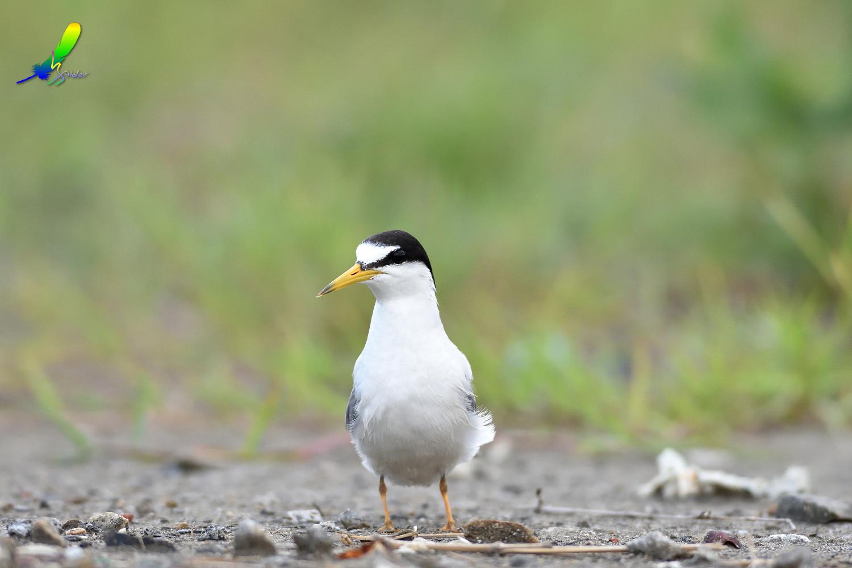 Little_Tern_5001