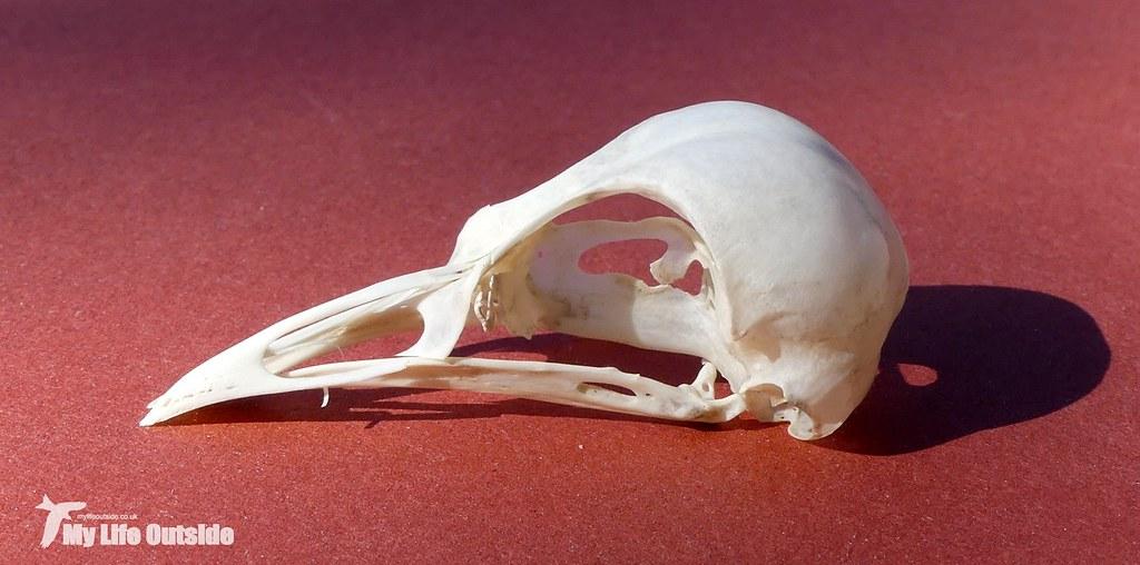 P1090501 - Robin Skull