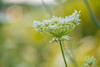 Queen Anne's Lace by Erinn Shirley