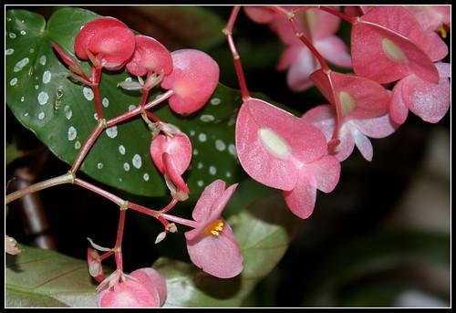 Begonia maculata et horticoles - bégonia bambou 35764834881_7c7b840210