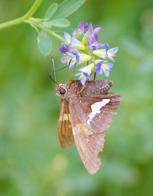 Moth Meal
