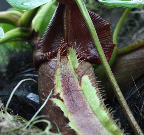 nepenthes_robcantleyi_03
