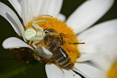 Crab Spider (Misumena vatia) with prey ...
