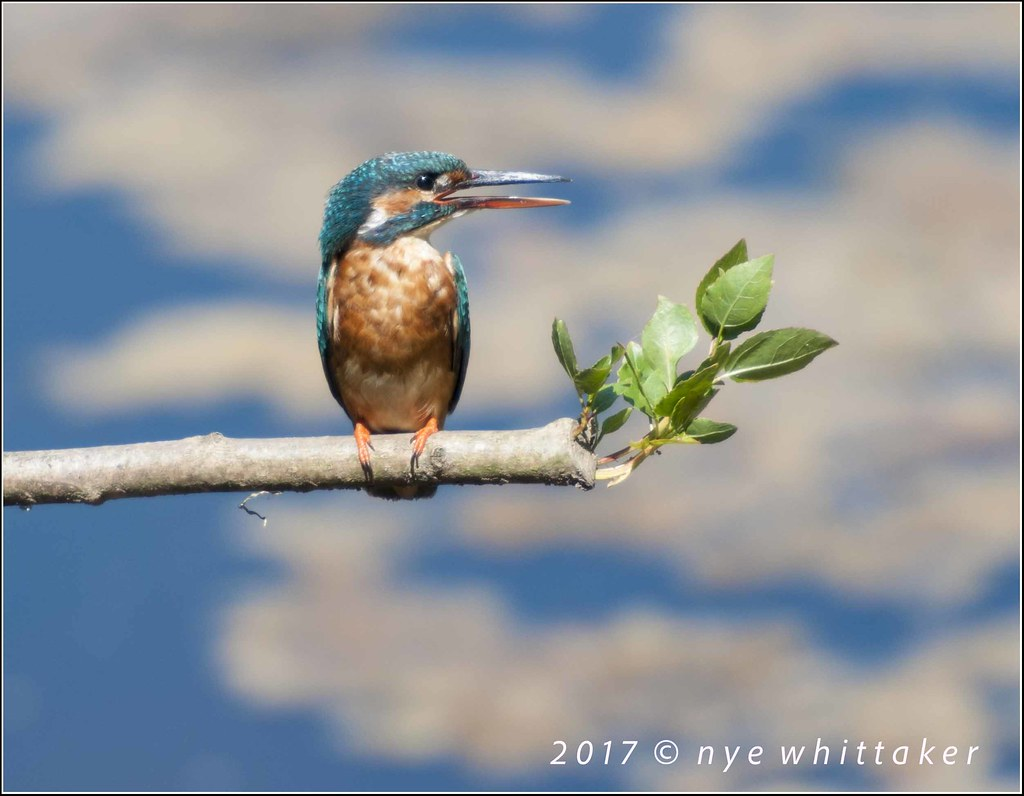 Kingfisher Feamle Top Hill Low June 2017