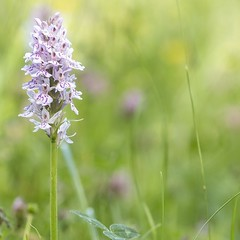 Common Spotted Orchid, one of many growing in the vicinity of Howe Park Wood, this one in the surrounding meadow. (Pretty sure photographing this is part of why I feel ill, too much sun!) #orchid #orcids #wildflower #wildflowers #flower #commonspottedorch