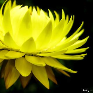 Strawflower - Immortelle