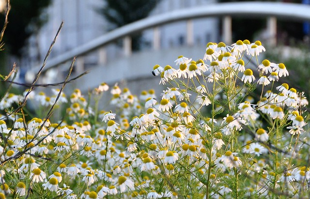 Allemaal Kamille / All Chamomile ...HFF