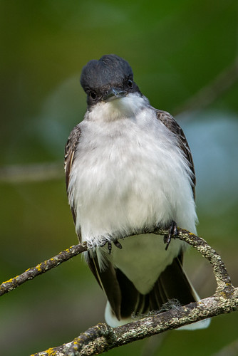 easternkingbird kingbird tyrannustyrannus tyrannus tyrantflycatcher tyrannidae nigelje okanagan