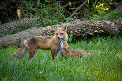 fox family outing