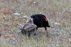 Red-winged Blackbirds