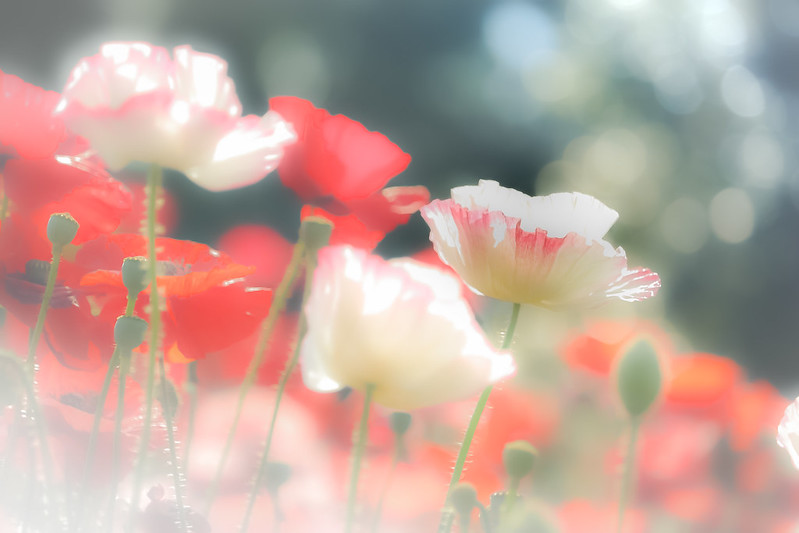 Poppy's breath.。oO