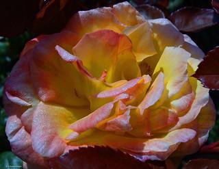 Amanecer de una rosa.