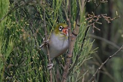 Silvereye ( First inn )