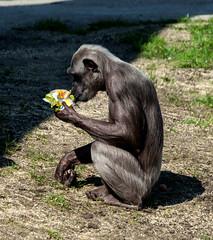 Chimpanzee Sallys Group #1