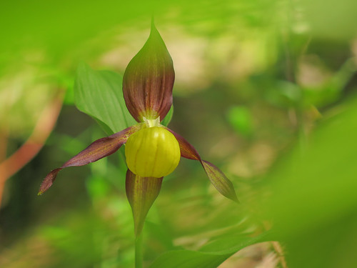 Lady's slipper orchid (Cypripedium calceolus) in the Dolomites