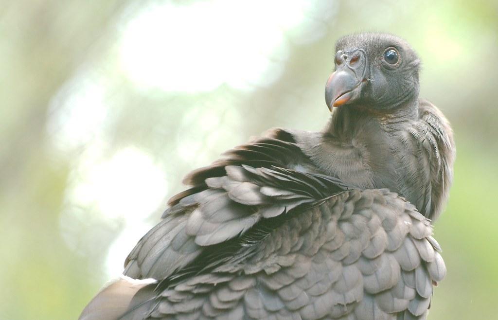 Black Vulture_1