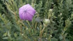 하룻밤사이 보랏빛 제 빛깔을 찾은 도라지꽃