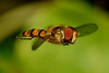 Hoverfly (Episyrphus balteatus) in flight