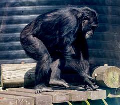 Chimpanzee Monkey World 8th April 2017 #6