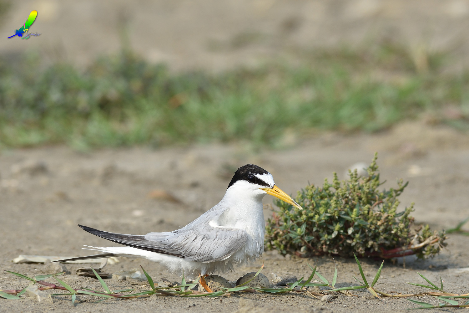 Little_Tern_9018