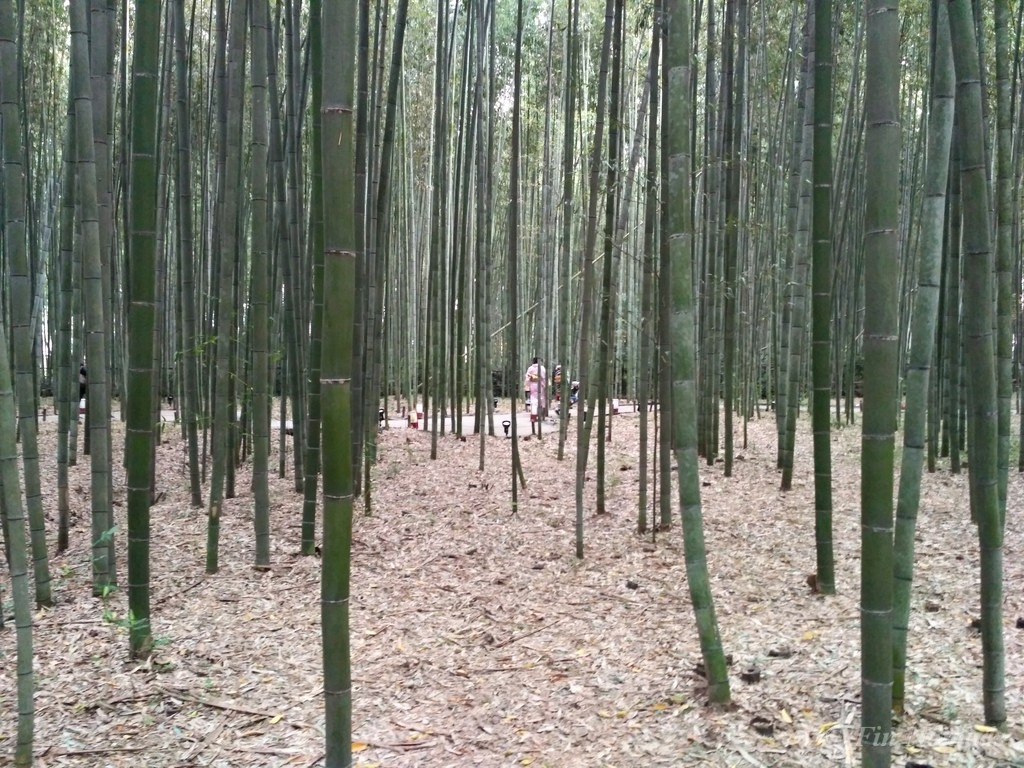 kyoto Japan bamboo forest 3