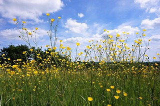 Buttercup field in Uppark Country House grounds