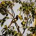 Oriental Pied Hornbill (Trevor Platt)