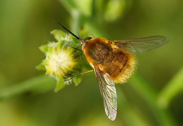 Unidentified Bee-fly (Bombyliidae), Romania